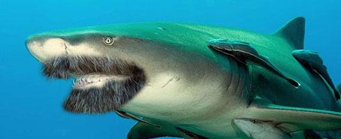 A lemon shark with a beard